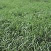 Green Manure - Annual Ryegrass 200G