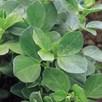 Green Manure - Field Beans 225G (10 Sqm)