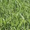 Green Manure - Hungarian Grazing Rye 112G (7Sqm)