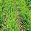 Green Manure - Oats Black (Japanese) 100G