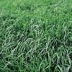 Green Manure - Persian Clover 112G (45 Sqm)