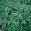Green Manure - Phacelia Tanacetifolia 100G (45 Sqm)