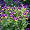 Viola Seeds - Tricolour