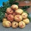 Potato Seed Organic King Edward 1kg