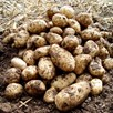 Seed Potatoes Arran Pilot 1kg
