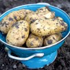 Seed Potato Organic Charlotte 1kg
