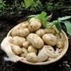 Seed Potato Organic Linda 1Kg