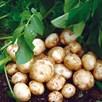 Seed Potato Organic Bambino 1kg