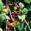 Blackcurrant Plant Ben Hope