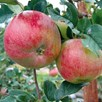 Apple Tree Cooking Apple Howgate Wonder