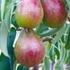 Pear Tree Louise Bonne Of Jersey