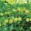 Gooseberry Invicta 1 Plant Organic