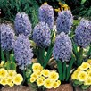 Hyacinth Bulbs - Delft Blue(3)