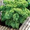 Kale Green Curled Dwarf (10) Organic