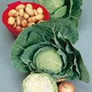 White Cabbage Golden Acre (10) Plants - Organic