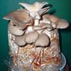 Mushroom Spawn Oyster Spawn