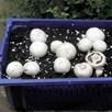 Mushroom Spawn White Cap
