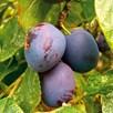 Plum Tree Czar Organic St Julien A Rootstock