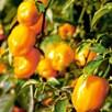 Chilli Pepper Orange Habanero - 3 Plants - Organic