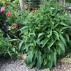 Comfrey 'Bocking 14' Plants P9 x 3