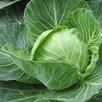 Autumn Winter Cabbage - Winter Green Organic (10 Plants)