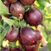 Organic Gooseberry Lady Late