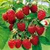 Organic Raspberry  Malling Promise