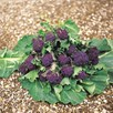 Broccoli (Sprouting) Summer Purple (12)