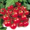 Tomato Gardeners Delight (6)