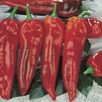 Pepper Grafted (Long Sweet) Plant - F1 Thor