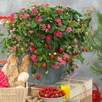 Strawberry Plants - F1 Toscana