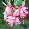 Fuchsia Plants - Pink Elephant