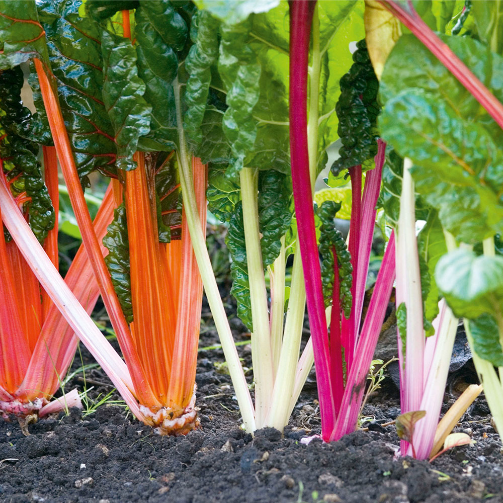 Chard Rainbow 22 Organic Gardening Catalogue